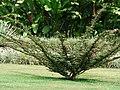 Carbonero (Calliandra sp.) - Flickr - Alejandro Bayer.jpg