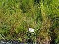 Carex dioica - Botanical Garden, University of Frankfurt - DSC02738.JPG