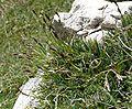 Carex firma 060707.jpg