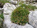 Carex firma Inflorescence.jpg