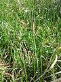 Carex flacca (subsp. flacca) sl2.jpg