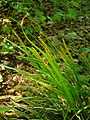Carex sylvatica plant (16).jpg