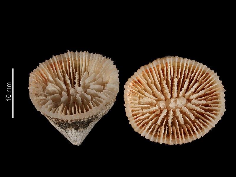 File:Caryophyllia cornulum (MNHN-IK-2009-1675).jpeg