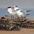 Caspian Tern 2 - Lake Wollumboola.jpg