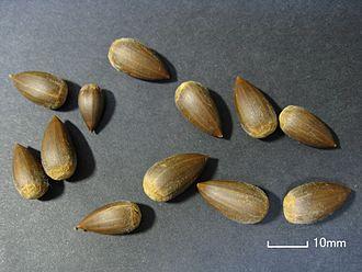Castanopsis - Calybia (nuts) of Castanopsis sieboldii