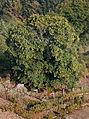 Castiñeiro en Vilanova dos Infantes - Celanova - Galiza VI.13.jpg