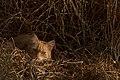 Cat-mouflage (2637060319).jpg