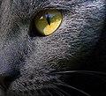Cat eye 2 (3053001652).jpg