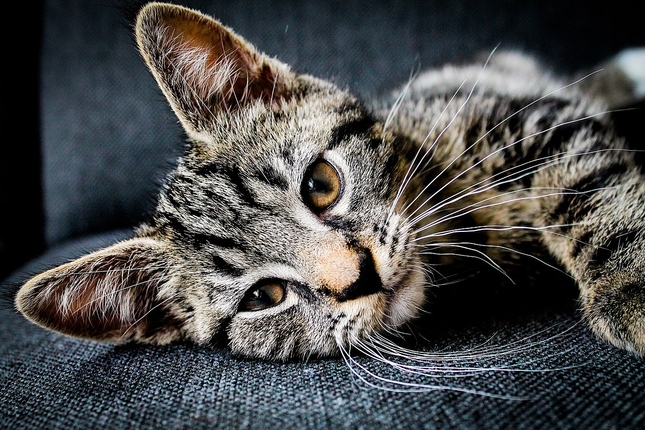 Cat resting on a couch (Unsplash).jpg