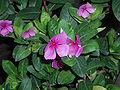 CatharanthusRoseus2.jpg