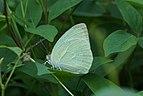 Catopsilia pyranthe 05306.jpg