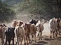 Cattle @ Chyulu Hills (20513653483).jpg