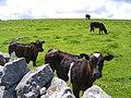 Cattle and pasture alongside Fell Lane - geograph.org.uk - 856663.jpg