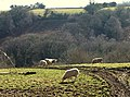 Cattle and sheep above the Holy Brook valley - geograph.org.uk - 1179863.jpg
