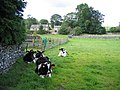 Cattle resting at Kirkby Malham - geograph.org.uk - 720476.jpg