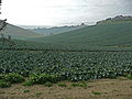 Cauliflower field in Italy.jpg