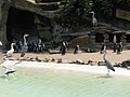 Cavalcade of penguins - their mounts are invisible (540091528).jpg