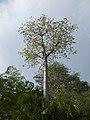 Cavanillesia platanifolia fruit flamingo gardens — Barry Stock 005.jpg