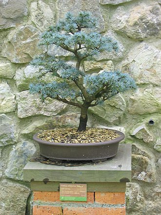 Cedrus - Glaucous Cedrus atlantica trained as a bonsai