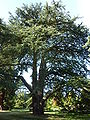 "Cedrus libani ""Cedar of Lebanon"" (Pinaceae) (tree).JPG"