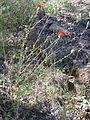 Centaurea cordubensis Habitus 2011-6-23 SierraMadrona.jpg