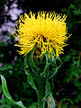 Centaurea macrocephala.jpg