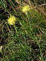 Centaurea rupestris PID2052-2.jpg