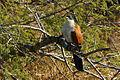 Centropus burchellii 5676-cropped.jpg