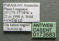 Cephalotes jheringi casent0173683 label 1.jpg