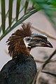 Ceratogymna atrata -Cincinnati Zoo, Ohio, USA -female-8a.jpg