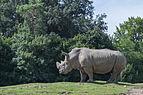 Ceratotherium simum simum (Rhinocéros blanc du Sud) - 385.jpg