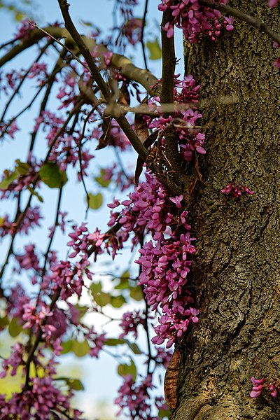 Filecercis siliquastrum judas tree flowering trunk at myddelton other resolutions 160 240 pixels 320 480 pixels mightylinksfo