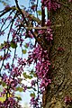 Cercis siliquastrum Judas tree flowering trunk at Myddelton House, Enfield, London 02.jpg