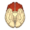 Cerebrum - frontal lobe - inferior view.png