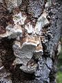 Ceriporiopsis pseudogilvescens (15415214601).jpg