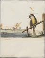 Certhiola bahamensis - 1700-1880 - Print - Iconographia Zoologica - Special Collections University of Amsterdam - UBA01 IZ19000441.tif