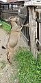 Chèvre (Capra aegagrus hircus) (29).jpg