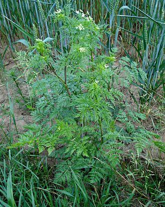 Chaerophyllum - Image: Chaerophyllum bulbosum W