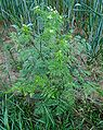 Chaerophyllum bulbosum W.jpg
