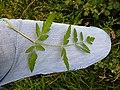 Chaerophyllum temulum leaf (14).jpg