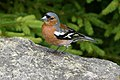 Chaffinch at Loch Ordie - geograph.org.uk - 89798.jpg