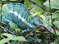 Chameleon on leaves.jpg