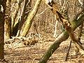 Chamois (Rupicapra rupicapra) (1).jpg