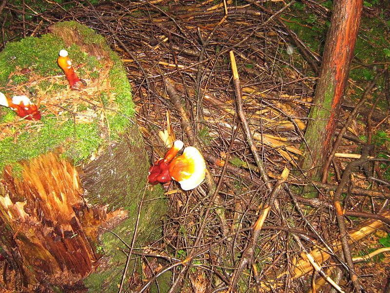 File:Champignons inconnu en forêt de résineux..JPG