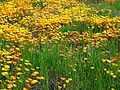 Chapman Hills Wildflowers, CA 3-4-17a (33140430991).jpg
