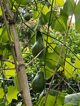 Chayote on vine Central America.jpg