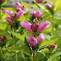 Chelone obliqua-IMG 6143.jpg