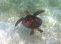 Chelonia mydas (green sea turtle) (San Salvador Island, Bahamas) 6 (15561499144).jpg