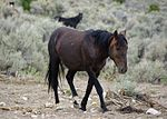 a dark-colored horse walking through sagebrush