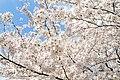Cherry blossom near Zenpukuji river, Tokyo; March 2008 (22).jpg